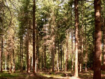 Wald mit Douglasien