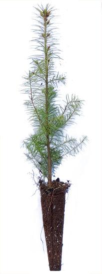 Douglasienpflanze