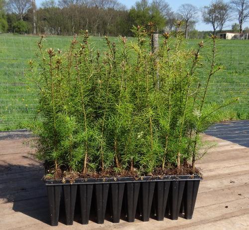 Douglasientopfpflanzen kaufen